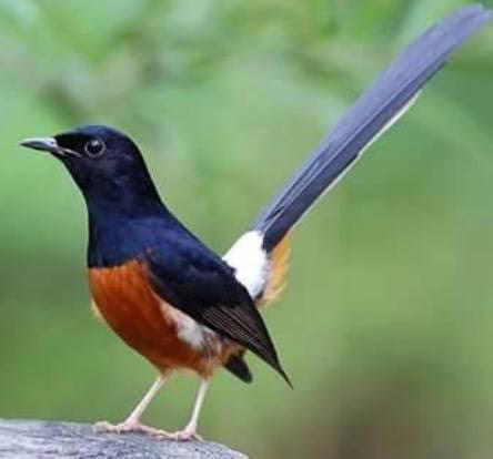 Cara Membedakan Burung Murai Batu Jantan Dan Betina