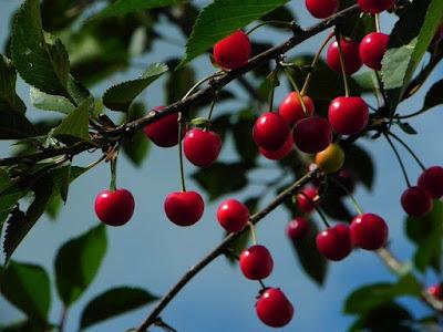 kasiat buah talok atau ceri