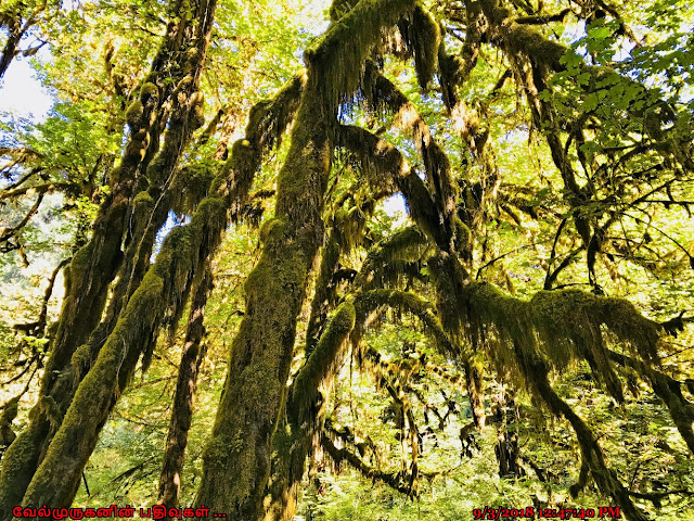Hanging moss and ferns in Hoh