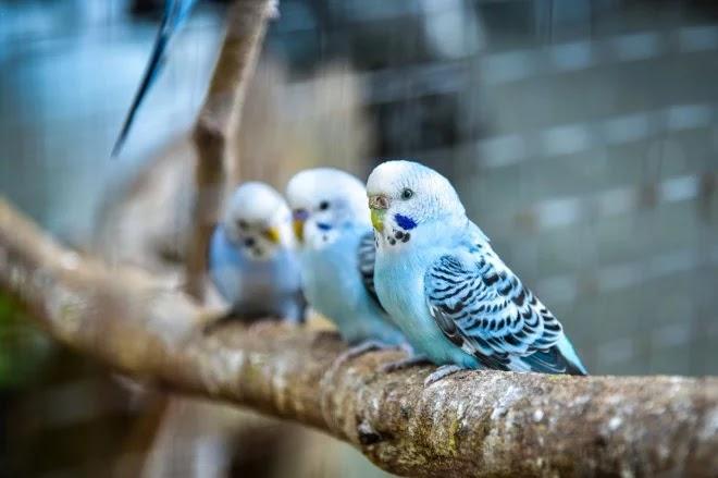 Fakta Menarik Tentang Burung Budgies