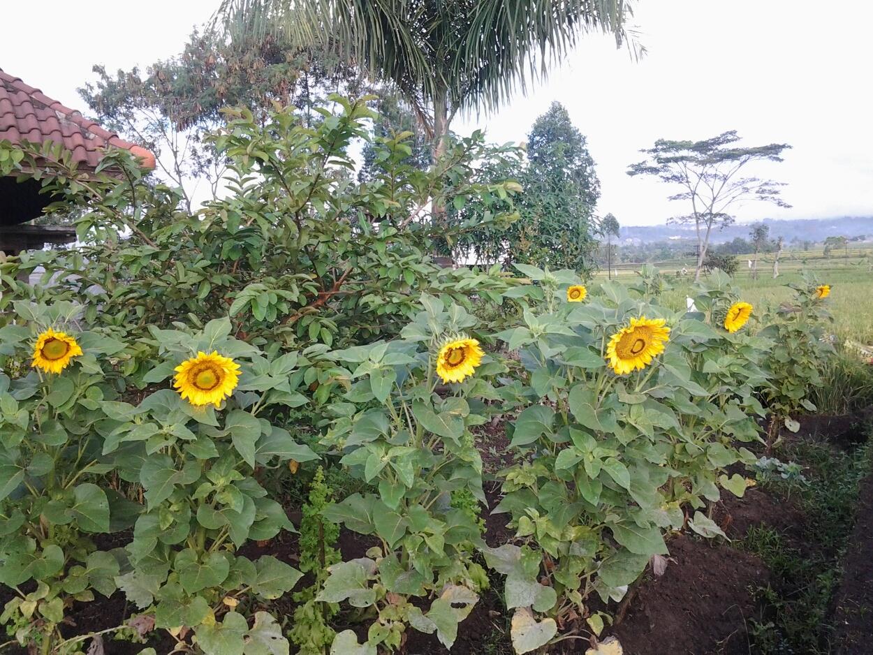 Pesantren Ekologi Ath Thaariq Bunga Matahari Katalog Benih Pesantren Ekologi Garut