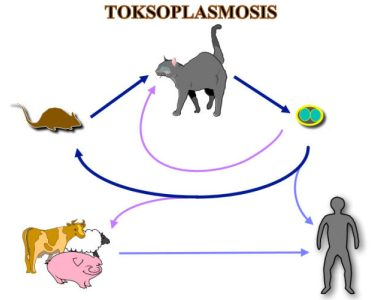 Penyebaran toksoplasma