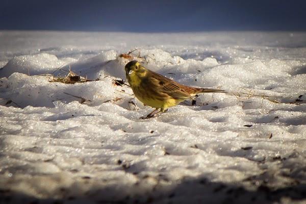lintu bird photography valokuvaus