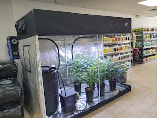 A grow tent with tomatoes inside Grow Kings store.