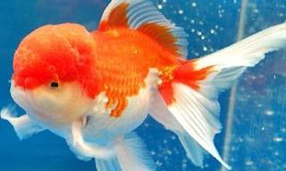 Mengenal Sejarah Ikan Mas Koki