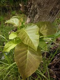 teak nama pohon jati, tectona grandis