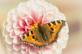 Bunga Dahlia dan kupu kupu