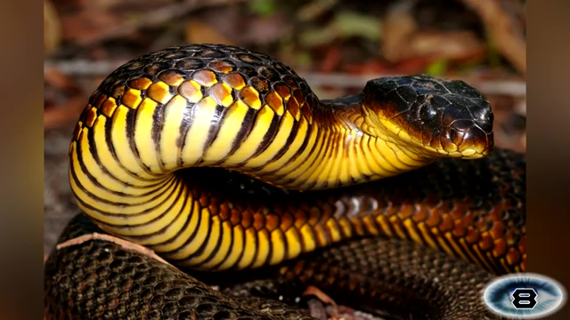 The Tiger Snake, most venomous snake, most poisonous snake, top ten venomous snake, top ten poisonous snake