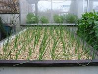 密植栽培の玉ねぎ