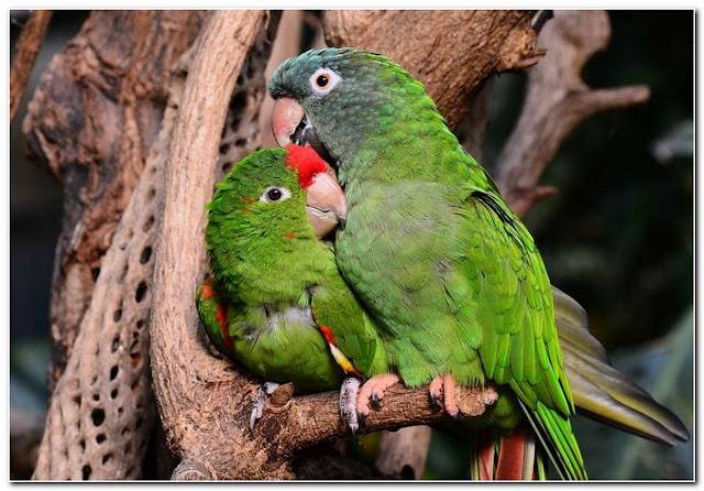 cara-nerawat-burung-lovebird-7jh46