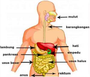 Urutan Sistem Pencernaan Manusia Paling Lengkap
