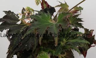 hojas-begonia-breakdance