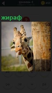 Из за столба выглядывает голова жирафа с высунутым языком