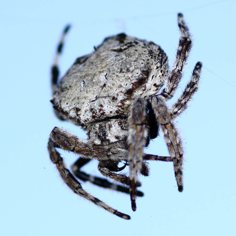 Spider Web Halloween Decorations: Real Monstrosities: Darwin's Bark Spider