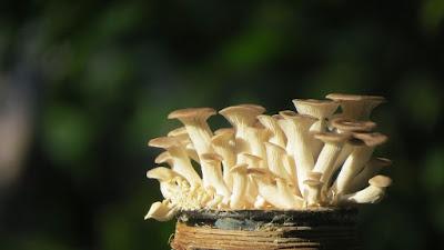Mushroom Supplier Company in Rajkot