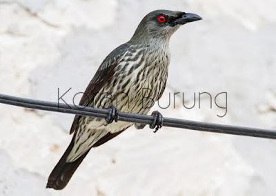 yaitu spesies burung dari famili jalak Mengenal Burung Perling Kumbang Atau Camperling, Si Hitam Nan Elok