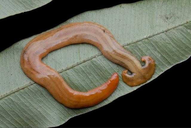 Gambar cacing kepala martil