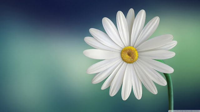 Daisy Flower Wallpapers HD Pictures Download Free