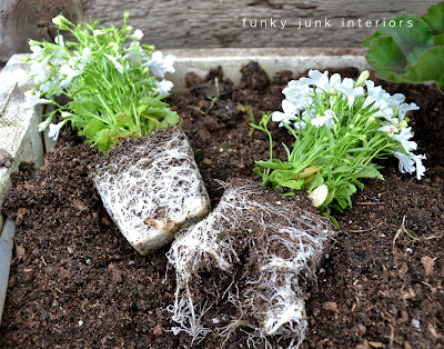 planting alyssum in a freshly fertilized flowerbox