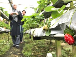 Strawberry Farm Genting Highland