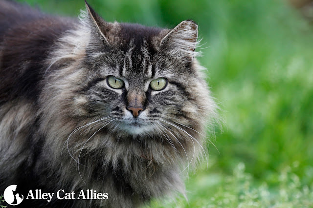 Close up of beautiful feral maine coon cat with ear-tipped
