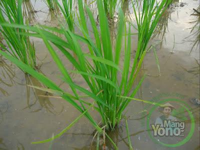 Tanaman padi Trisakti 17 HST di sawah Tegalsungsang
