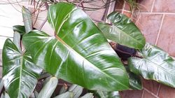Elephant Ear Philodendron