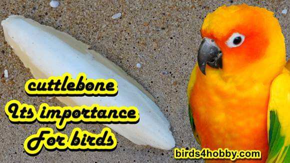 Cuttlebone Its importance for birds
