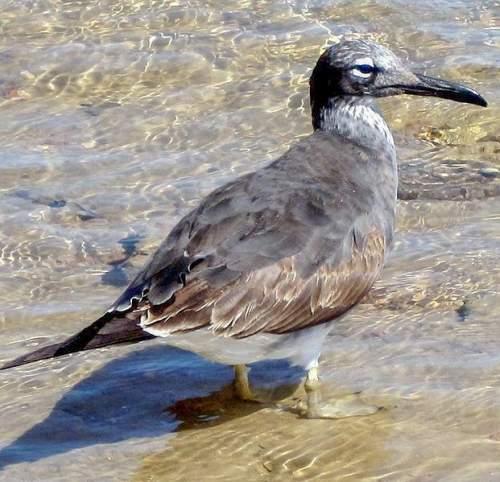 White-eyed gull - Ichthyaetus leucophthalmus