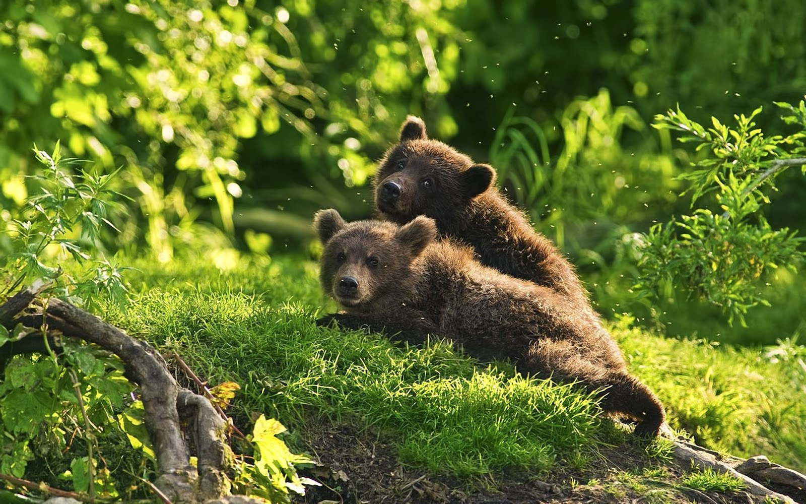 Brown Bear Wallpapers