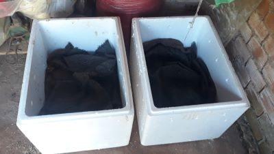 Nuôi trùn quế trong thùng xốp
