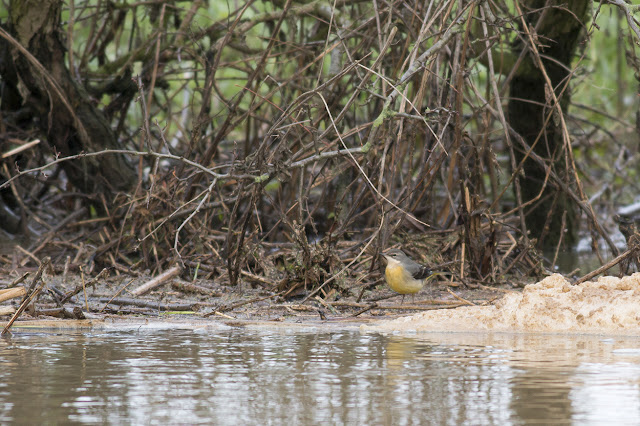 Grey Wagtail beside the river foam