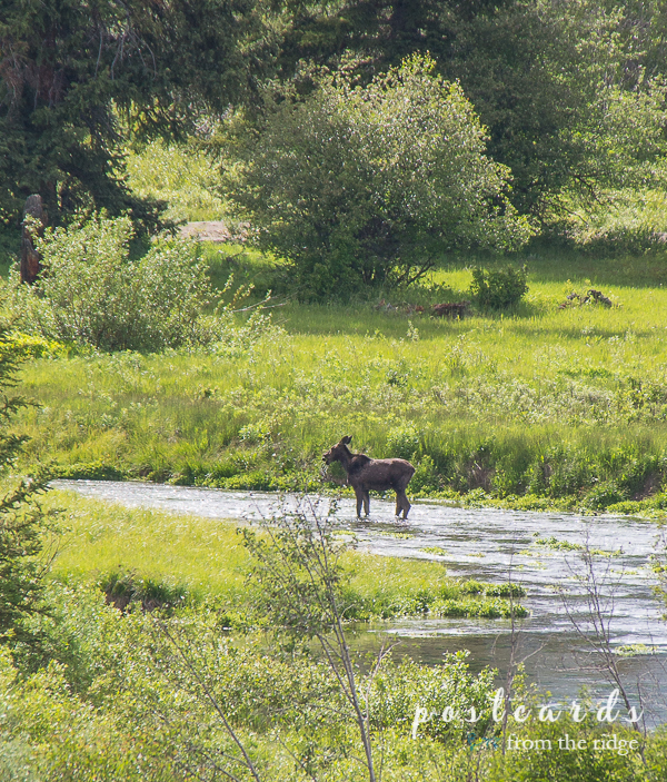 elk in a stream at Grand Tetons National Park