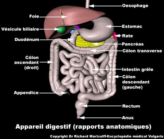 appareil digestif schéma infirmier
