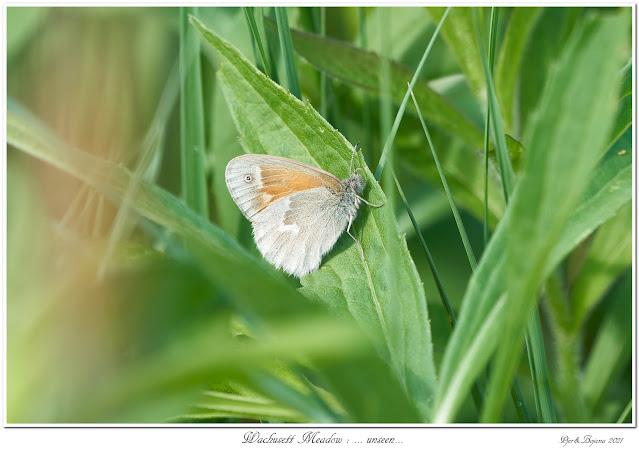 Wachusett Meadow: ... unseen...