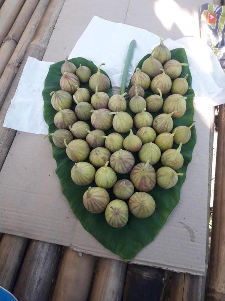 bibit buah tin ara fresh cangkok jenis LDA Jawa Timur
