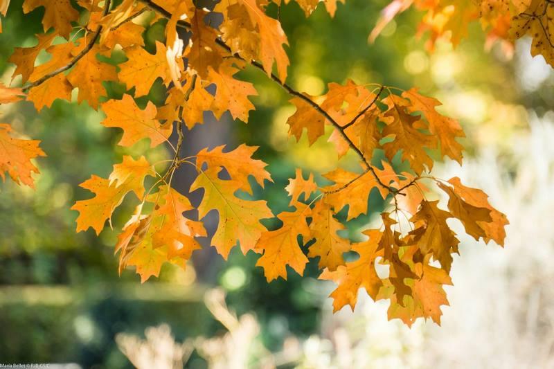 Hojas amarillas de roble en otoño en jardin botánico (Quercus robur)