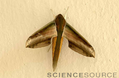 SCIENCE SOURCE NEWS: Moths go 'Squeak' in the Night