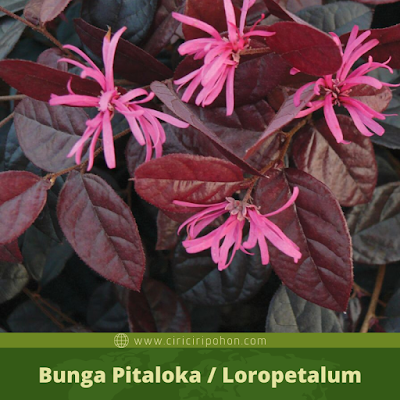 Bunga Loropetalum