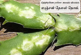 epiphyllum yellow mosaic disease
