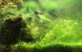 Alga hijau dalam aquascape