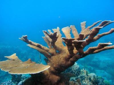 coral cuerno de alce Acropora palmata