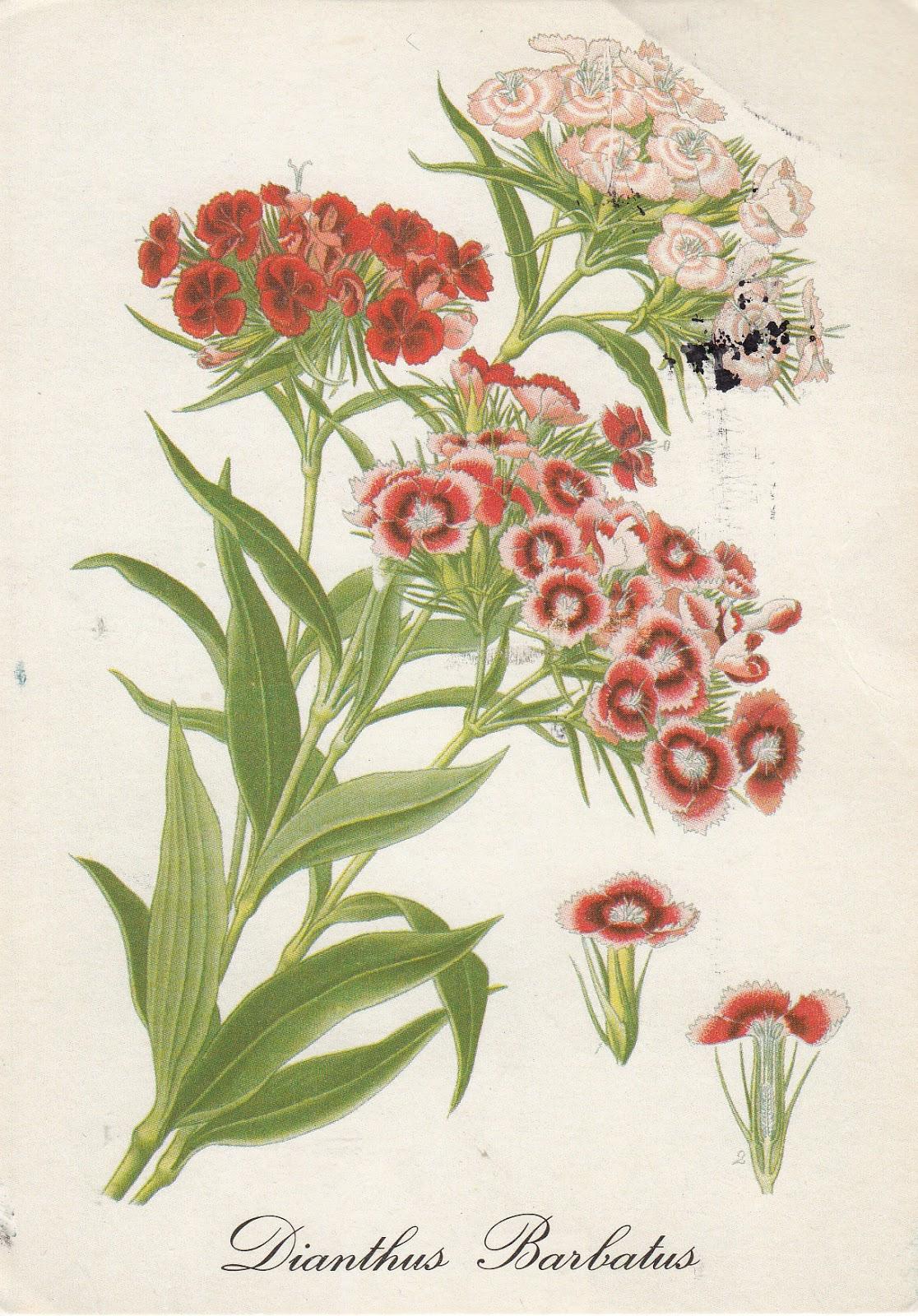 Турецкая гвоздика рисунок