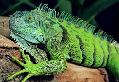Lizard - animals beginning with L