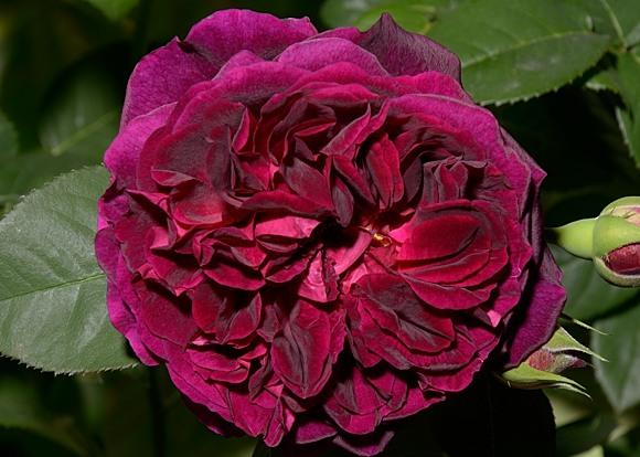 Munstead Wood сорт розы