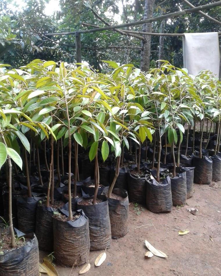 Bibit Durian Bawor Hasil Okulasi Kalimantan Barat