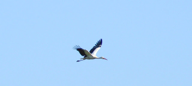 White Stork Ciconia ciconia, Brouage marshes, Charente-Maritime. France. Photo by Loire Valley Time Travel.