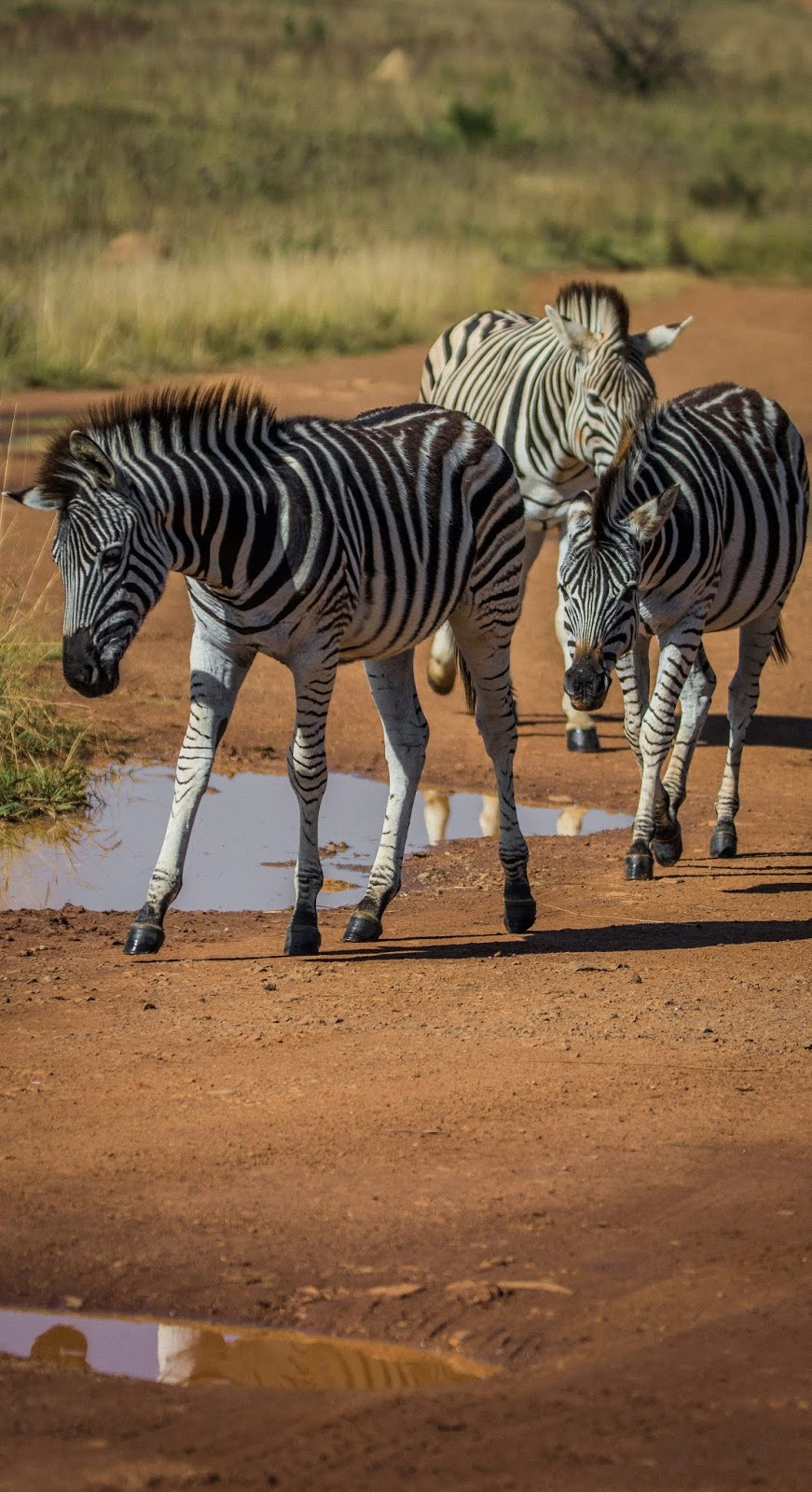 Picture of young zebras.