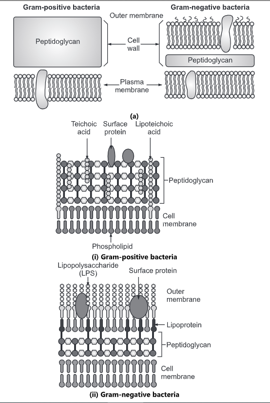 Bacterial Cell Wall: Types, Composition and Function