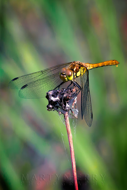 Macro photography of a female ruddy darter dragonfly with green reeds in the background